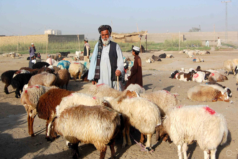 An Afghan national Haji Abdul Waris, a trader of sheep, at the local cattle market in Chaman. Haji Abdul Waris who belongs to southern Afghanistan brought around 35 hundred sheep to the cattle market in Chaman from Afghanistan. Photo by Matiullah Achakzai/News Lens Pakistan